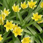 Tulipa tarda - Tulp - Tulipa tarda