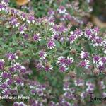 Aster lateriflorus - Aster