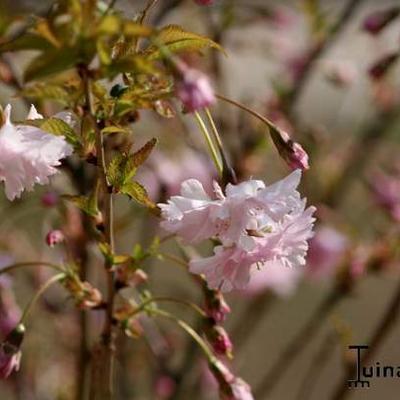Prunus incisa 'Oshidori' -