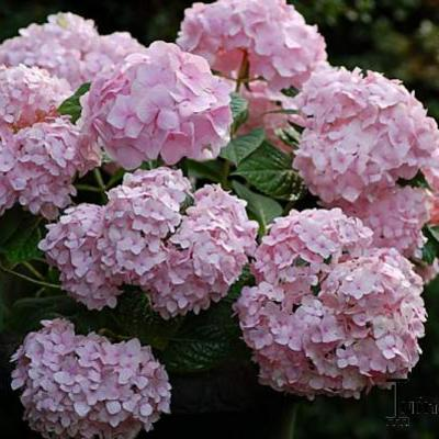 hortensia hydrangea macrophylla 39 endless summer 39 planten online kopen. Black Bedroom Furniture Sets. Home Design Ideas