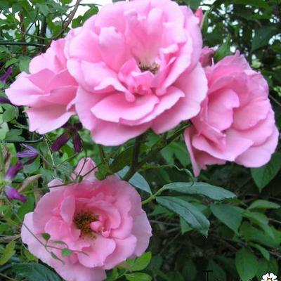 Rosa 'Bantry Bay' -