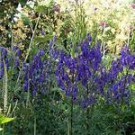 Aconitum napellus 'Newry Blue' - Aconitum napellus 'Newry Blue' - Monnikskap