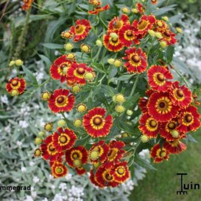 Helenium 'Flammenrad' -