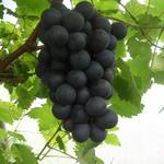 Druif, blauwe druif - Vitis vinifera 'Boskoop Glory'