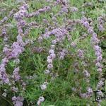 Buddleja alternifolia - Vlinderstruik - Buddleja alternifolia