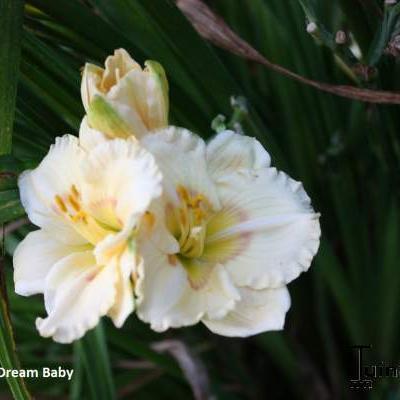 Hemerocallis 'Dream Baby' -