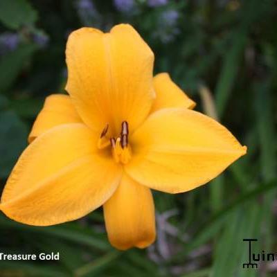 Hemerocallis 'Treasure Gold' -