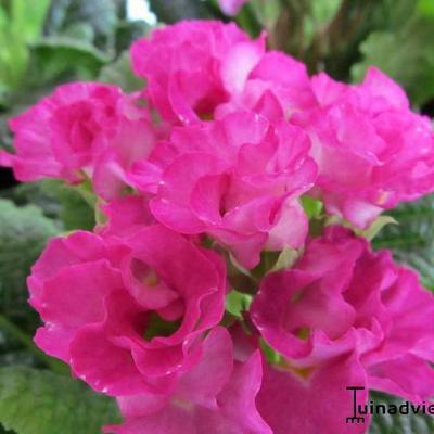 Primula vulgaris 'Suze' -