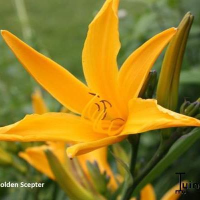 Hemerocallis 'Golden Scepter' -