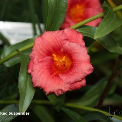 Hemerocallis 'Red Suspenders'  -
