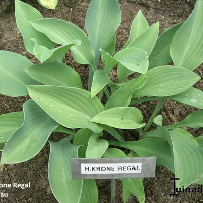 Hosta 'Krone Regal' - Hartlelie/Funkia