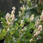 Persicaria hybride 'Kahil' - Duizendknoop - Persicaria hybride 'Kahil'