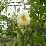 Stewartia pseudocamellia - Schijncamelia, Boomcamelia - Stewartia pseudocamellia