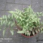Athyrium niponicum 'Metallicum' - Athyrium niponicum 'Metallicum' - Japanse regenboog