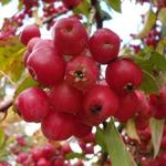 Malus 'Evereste' - Sierappel