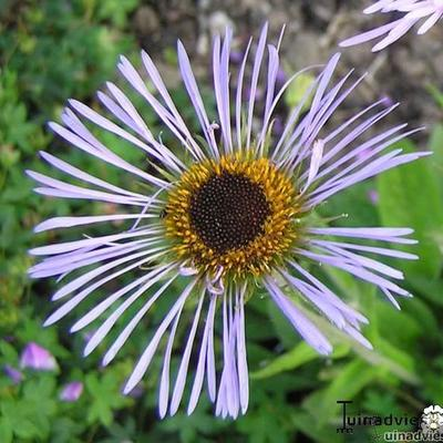 Aster diplostephioides -