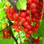 Ribes rubrum (rode bes) - Aalbes, Rode bes, Trosbes - Ribes rubrum (rode bes)