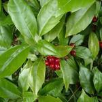 Aucuba japonica 'Rozannie' - Aucuba japonica 'Rozannie' - Broodboom