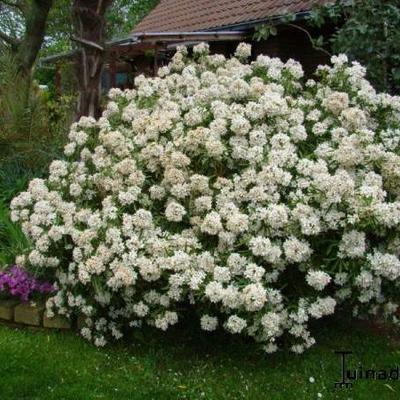 Choisya Aztec Pearl - Vente Oranger du Mexique blanc rose