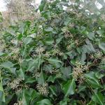 Hedera helix 'Arborescens'  - Struikklimop - Hedera helix 'Arborescens'