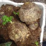 Apium graveolens rapaceum - Apium graveolens rapaceum - Knolselder