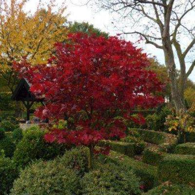 Acer palmatum dissectum 'Red Dragon' -
