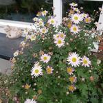 Chrysanthemum rubellum - Chrysanthemum rubellum - Chrysant