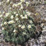 Saxifraga cochlearis 'Minor' - Steenbreek