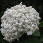 Viburnum carlesii - Viburnum carlesii - Sneeuwbal
