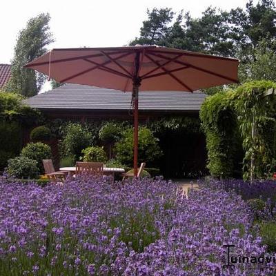 Lavandula angustifolia -