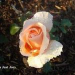 Rosa 'Just Joey' - Roos