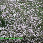 Gypsophila repens 'Letchworth Rose' - Gipskruid