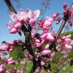 Cercis canadensis - Cercis canadensis - Amerikaanse judasboom