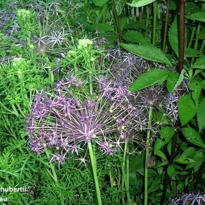 Allium schubertii -