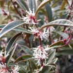 Sarcococca - Vleesbes