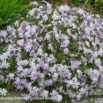 Phlox subulata 'Emerald Cushion Blue' - Kruipphlox