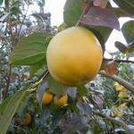Diospyros kaki - Diospyros kaki - Kaki, Sharonfruit