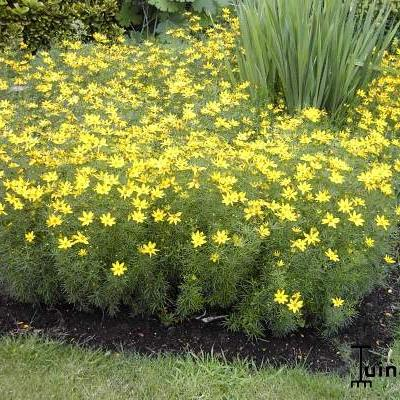 Coreopsis verticillata - Meisjesogen - Coreopsis verticillata