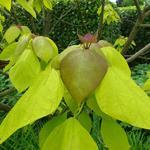 Catalpa bignonioides 'Aurea' - Gele trompetboom - Catalpa bignonioides 'Aurea'