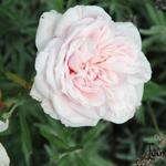 Rosa 'Souvenir De La Malmaison' - Rosa 'Souvenir De La Malmaison' - Roos