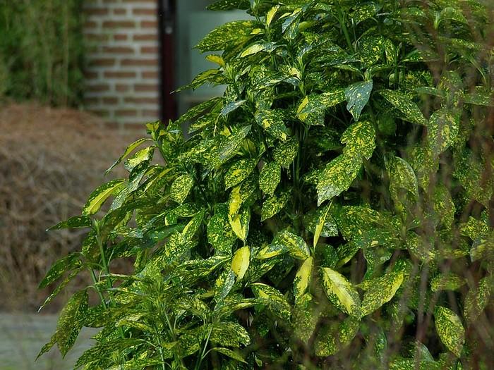 broodboom aucuba japonica 39 variegata 39. Black Bedroom Furniture Sets. Home Design Ideas