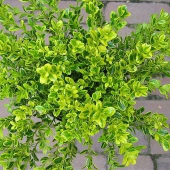 Buxus microphylla 'Golden Dream'