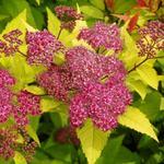 Spierstruik - Spiraea japonica 'Goldflame'