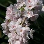 Prunus serrulata 'Amanogawa'  - Sierkers - Prunus serrulata 'Amanogawa'