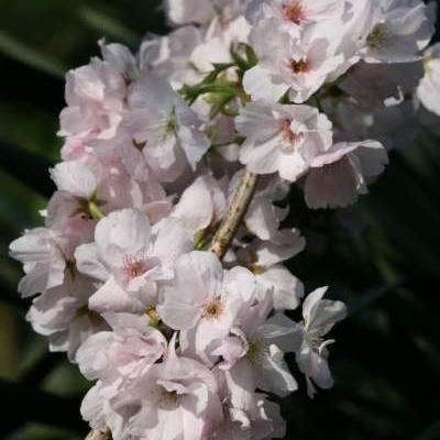 Prunus serrulata 'Amanogawa'  -