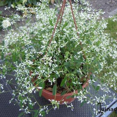 Euphorbia hypericifolia 'Diamond Frost' -