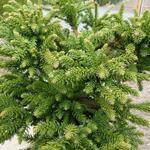 Cryptomeria japonica 'Dinger' - Heksenbezem, Japanse ceder - Cryptomeria japonica 'Dinger'