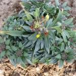 Erysimum linifolium 'Fragrant Sunshine' - Erysimum linifolium 'Fragrant Sunshine' - Muurbloem, Steenraket