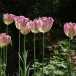 Tulipa 'Groenland' -