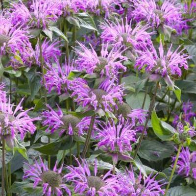 Monarda fistulosa  subsp. menthifolia -